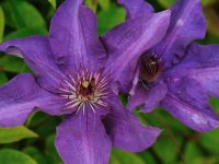 Clematis Morning sky-Lady Betty Balfour