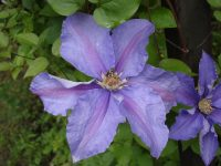 Clematis Skyfall -Minister