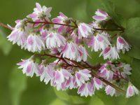 Deuția Deutzia purpurascens Kalmiiflora