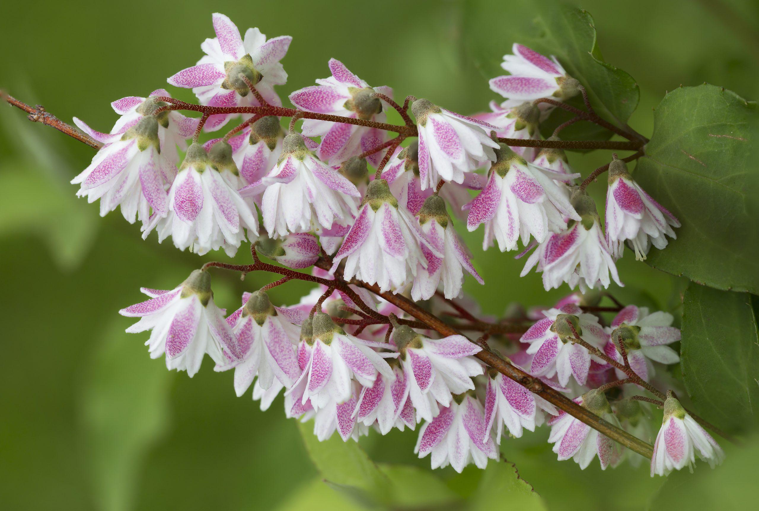 You are currently viewing Deuția Deutzia purpurascens Kalmiiflora