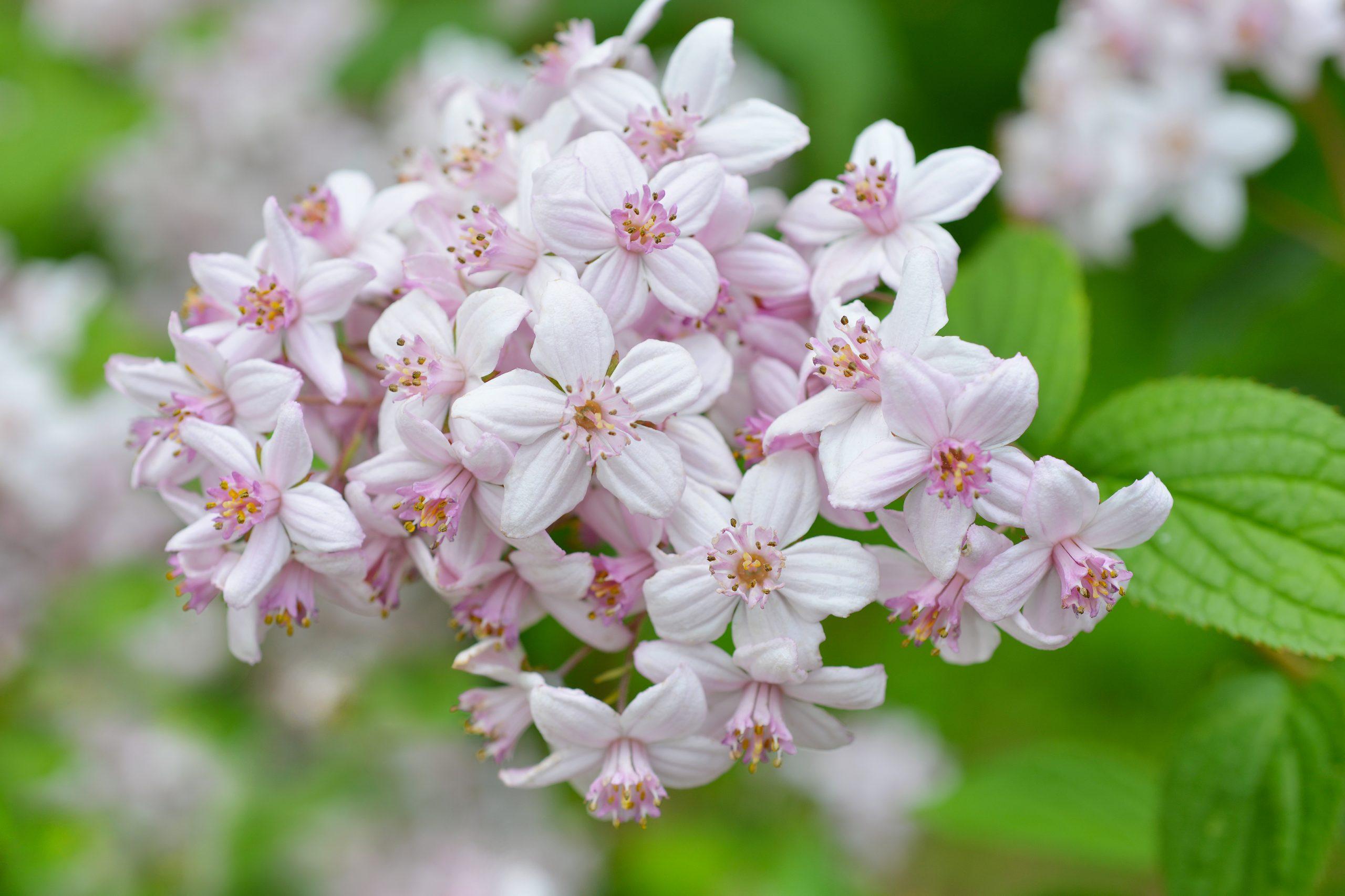 You are currently viewing Deuția Deutzia × hybrida Mont Rose