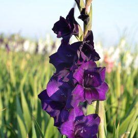 Gladiole 5 buc XXL – Purple Flora