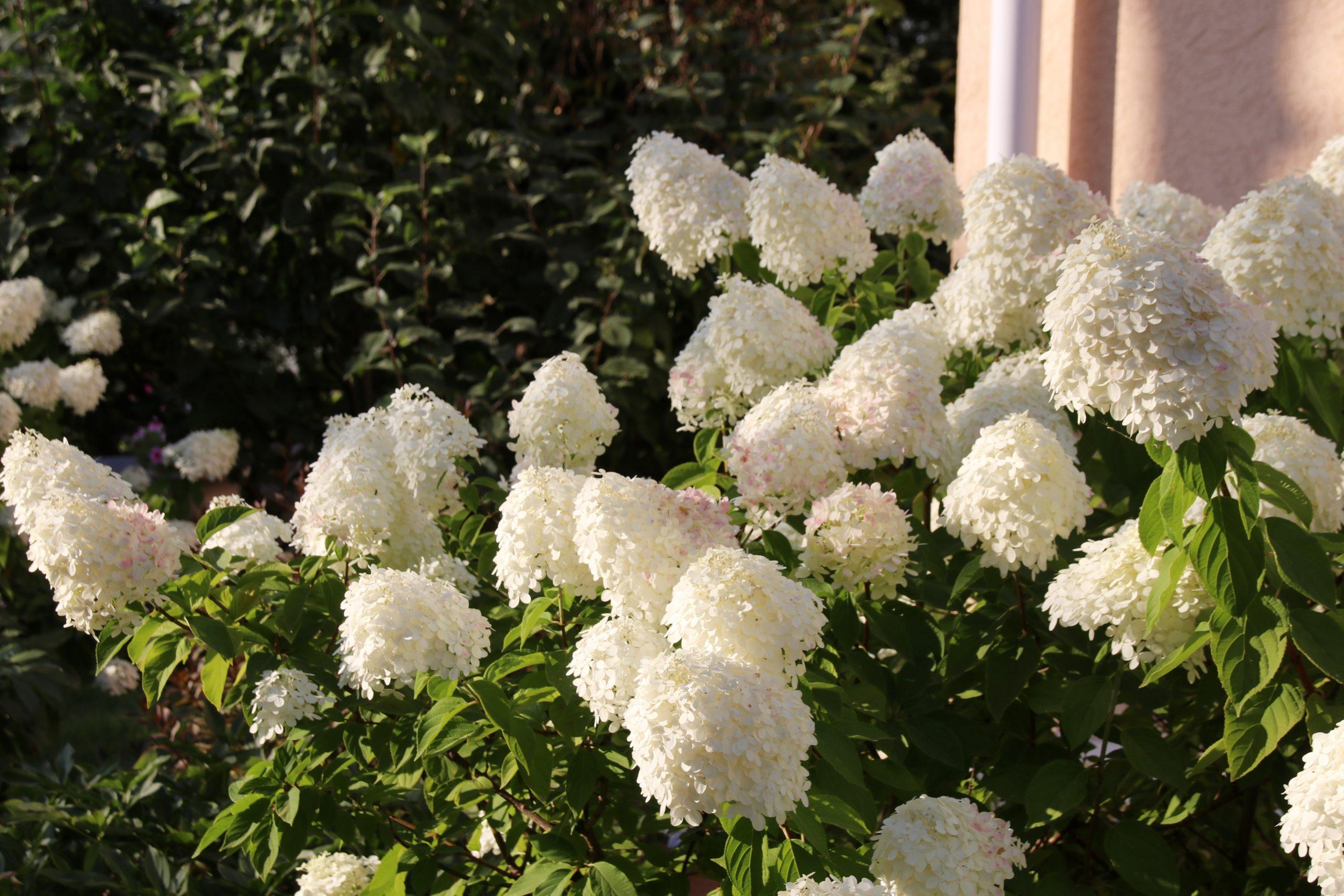 Hortenzia paniculată Grandiflora