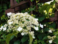 Hortenzia cățărătoare Hydrangea Petiolaris