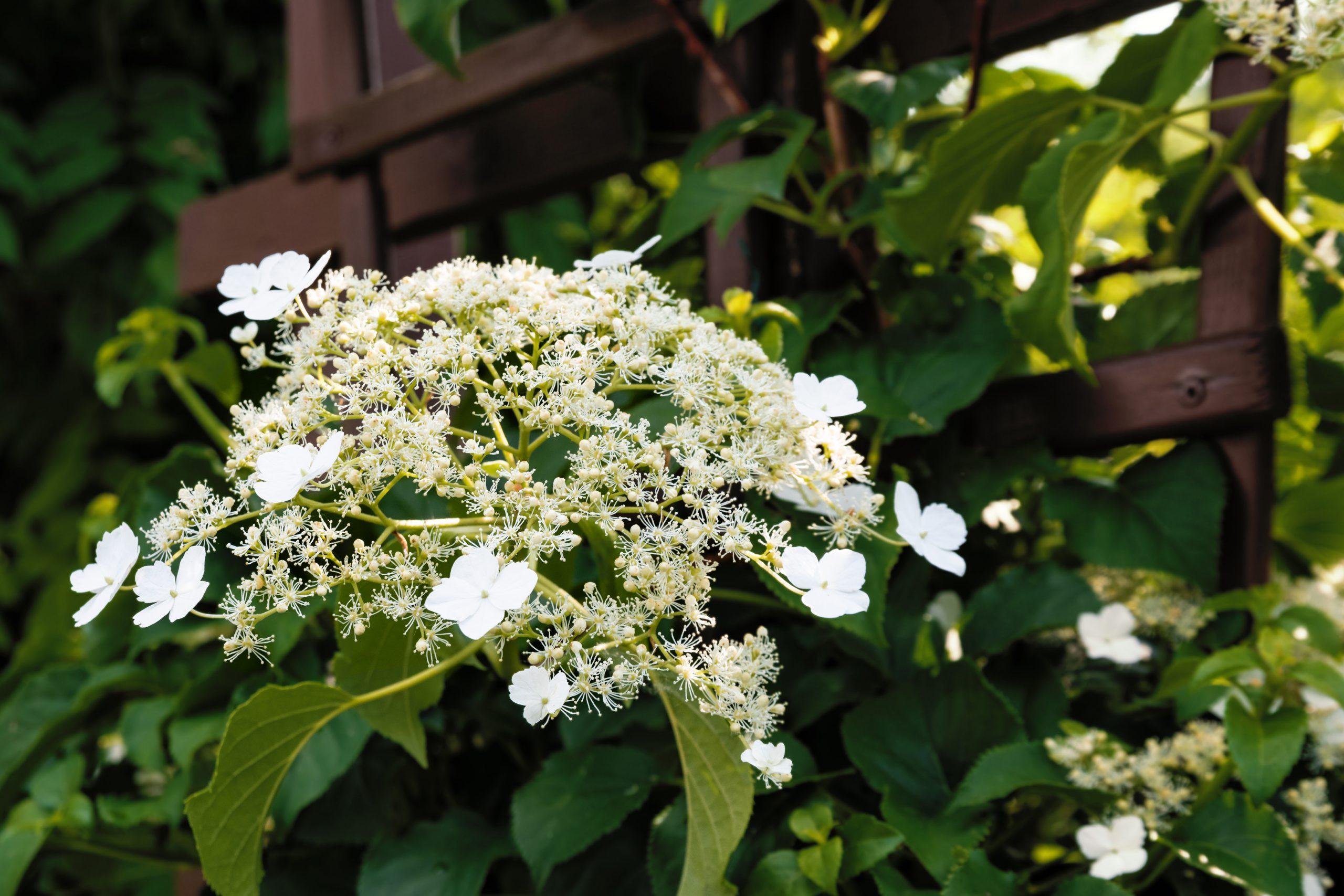 You are currently viewing Hortenzia cățărătoare Hydrangea Petiolaris