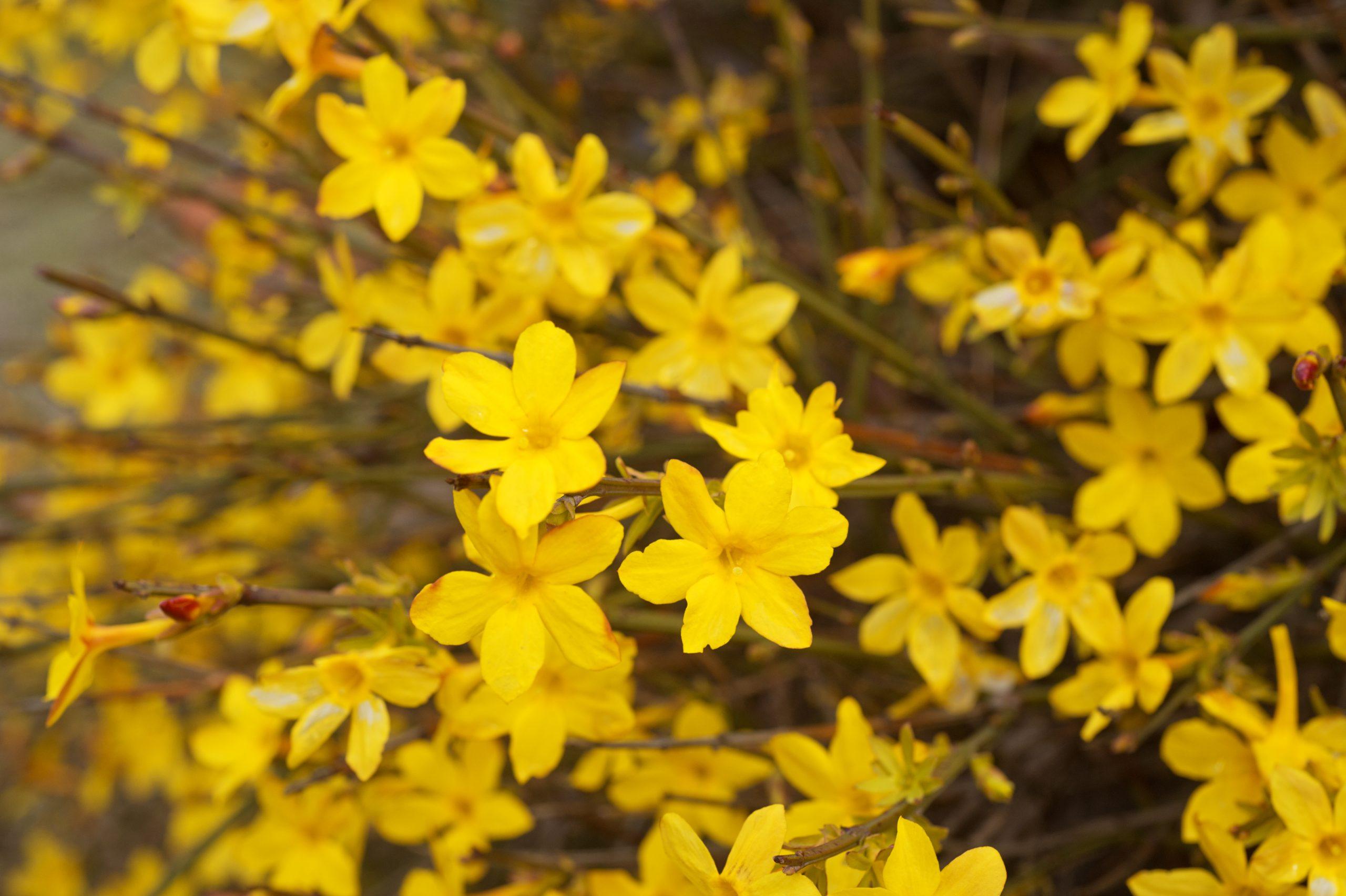 Iasomie de iarnă Jasminum nudiflorum