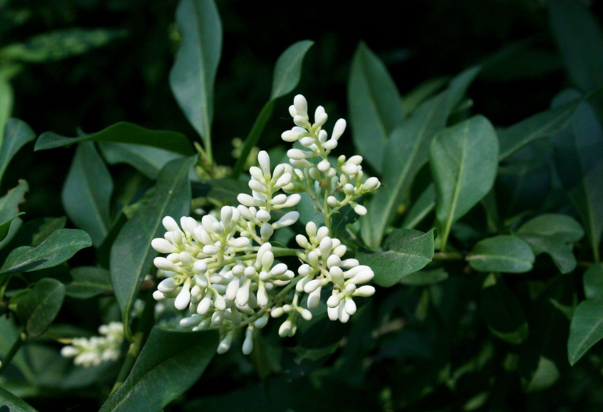 Lemn câinesc Ligustrum ovalifolium