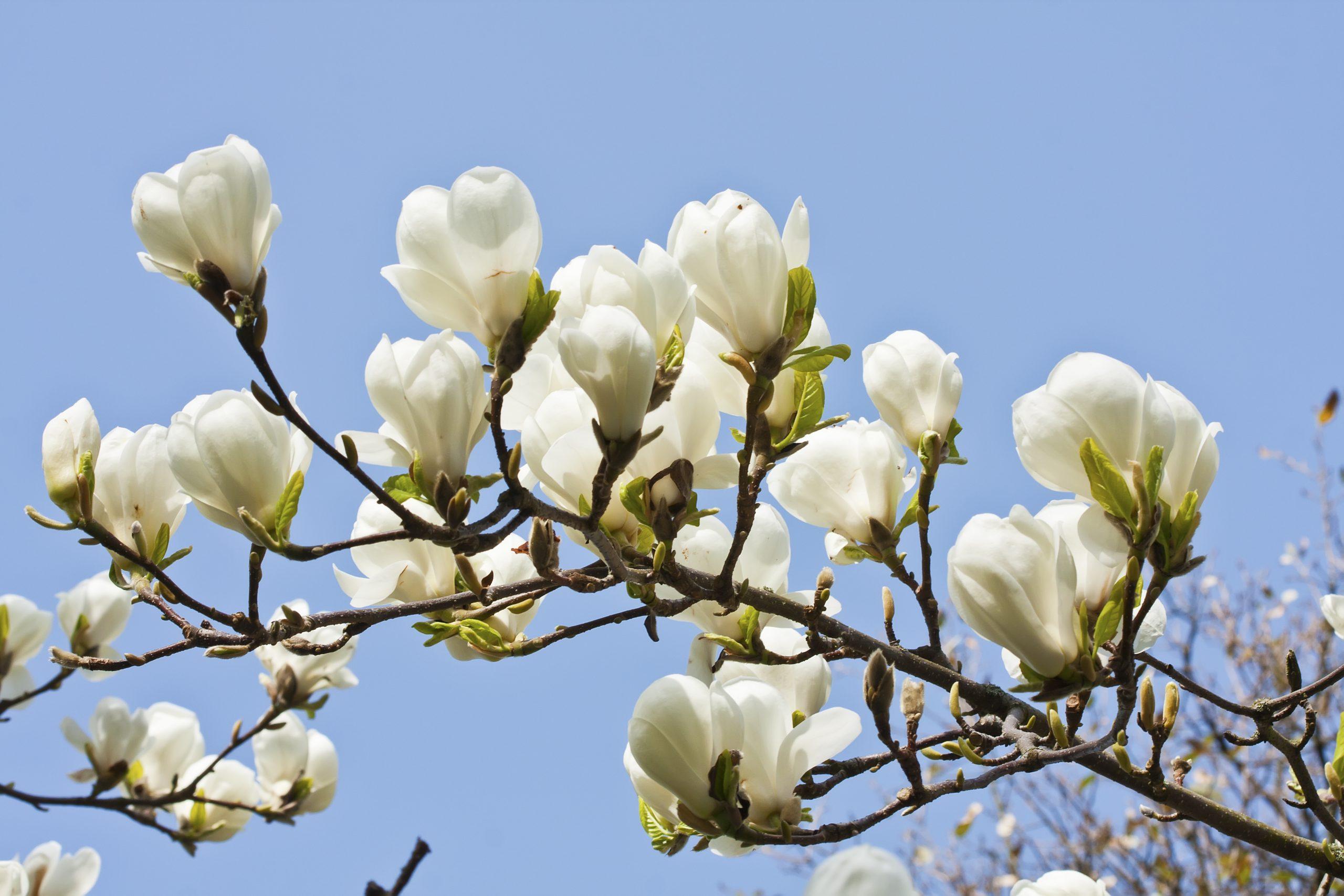 Magnolia SoulangenaAlba Superba
