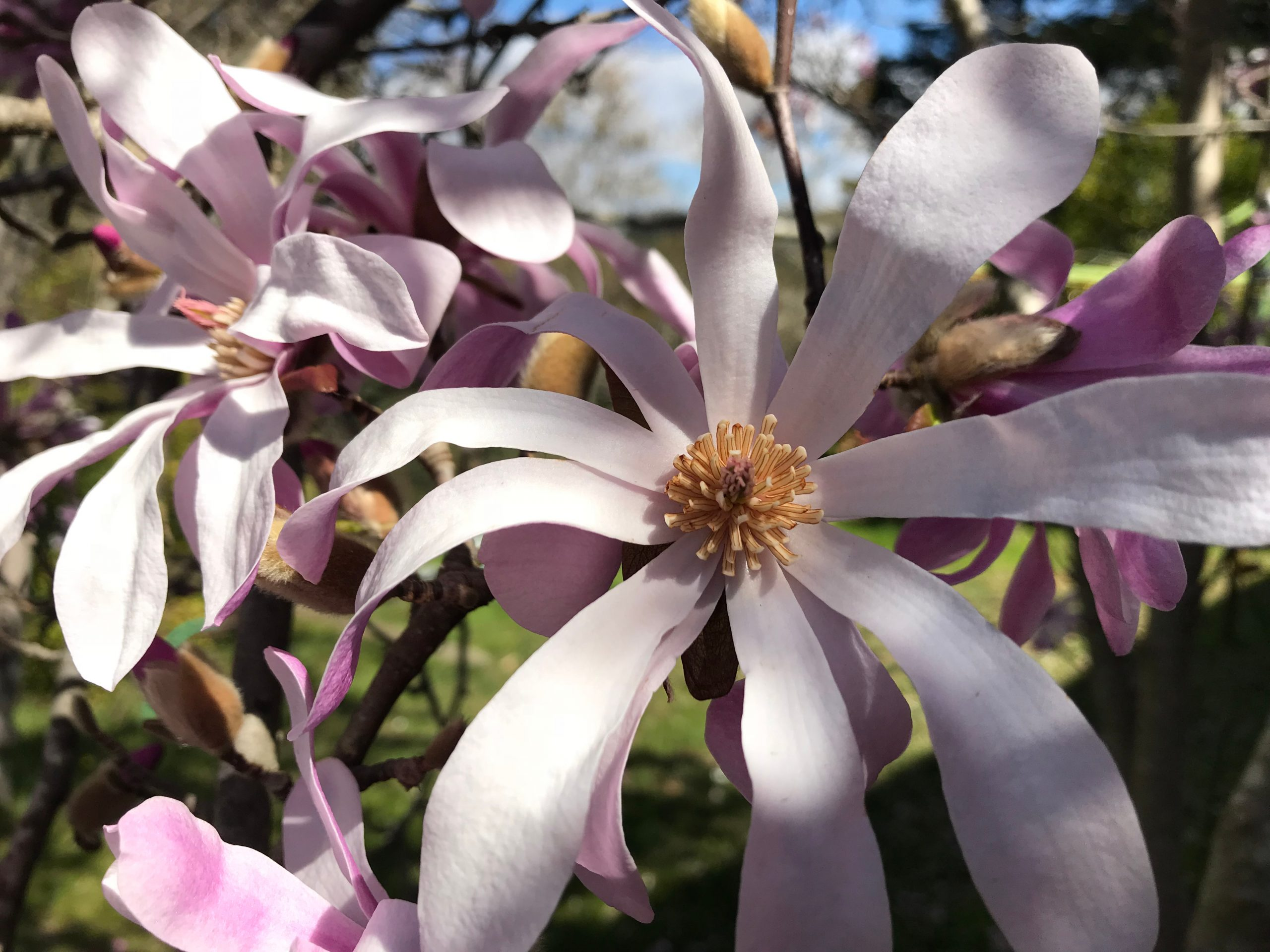 You are currently viewing Magnolia Leonard Messel