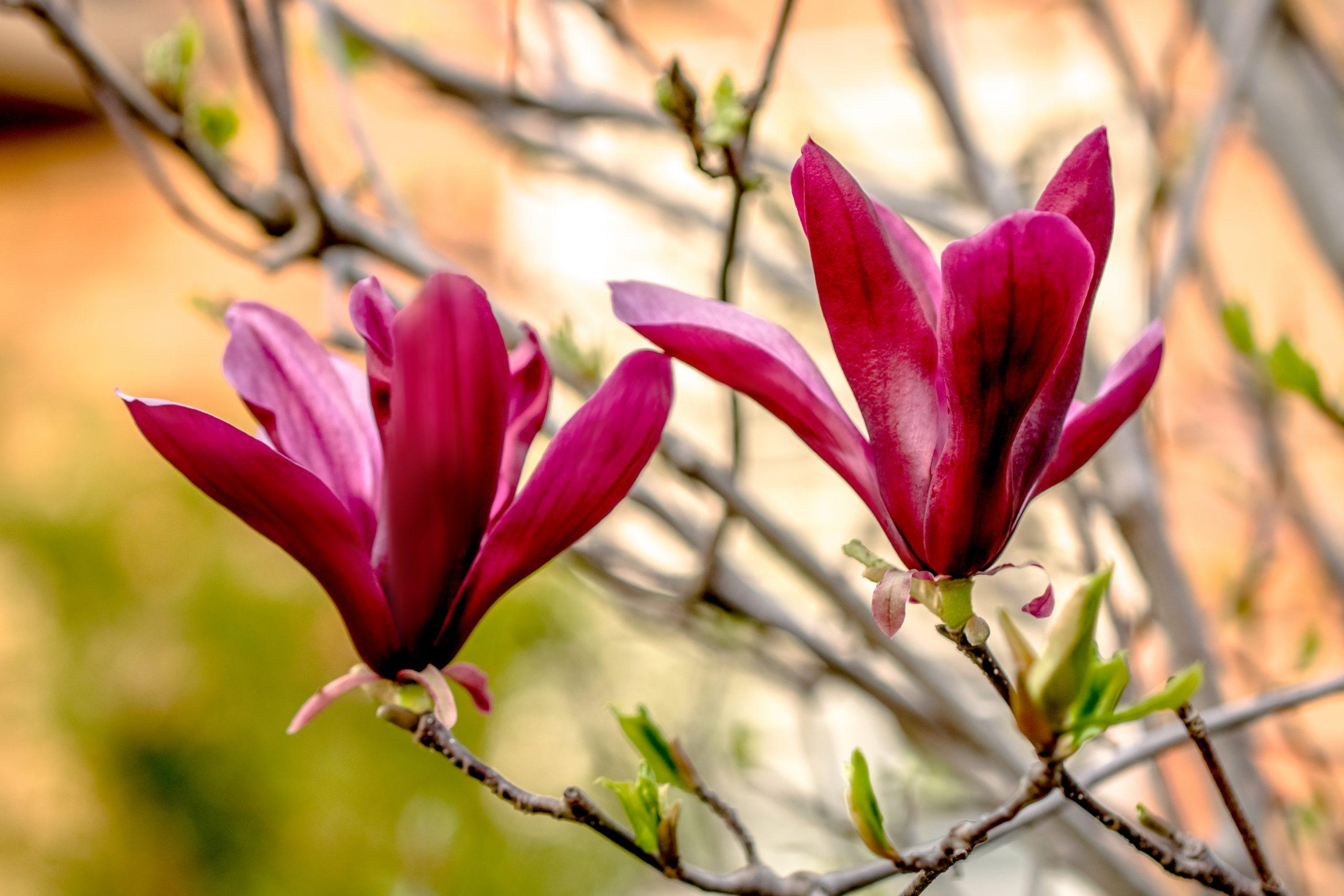 Magnolia Liliflora Nigra