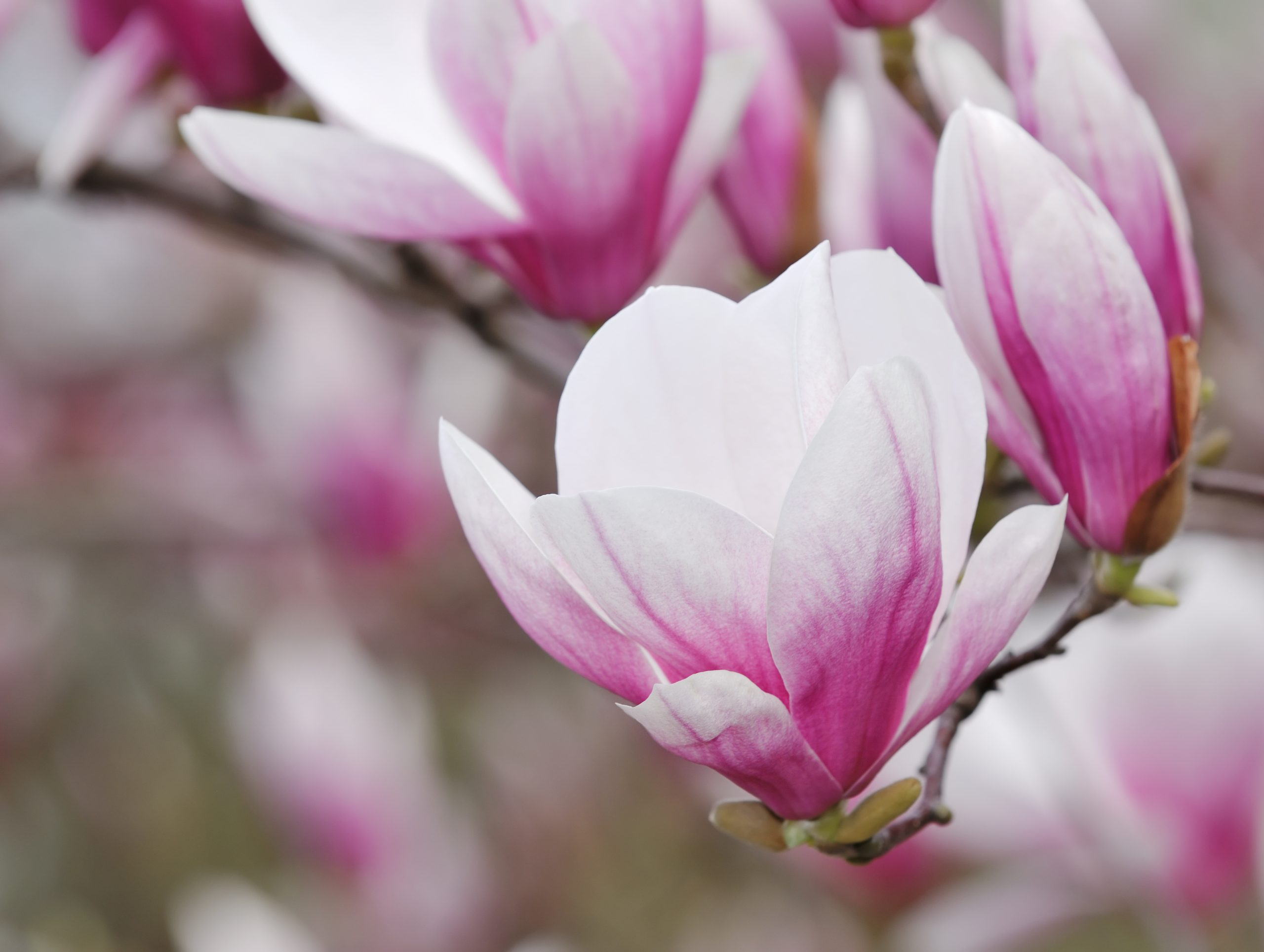 You are currently viewing Magnolia Soulangeana