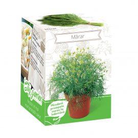 Kit plante aromatice – Mărar