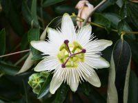 Floarea pasiunii Constance Elliot