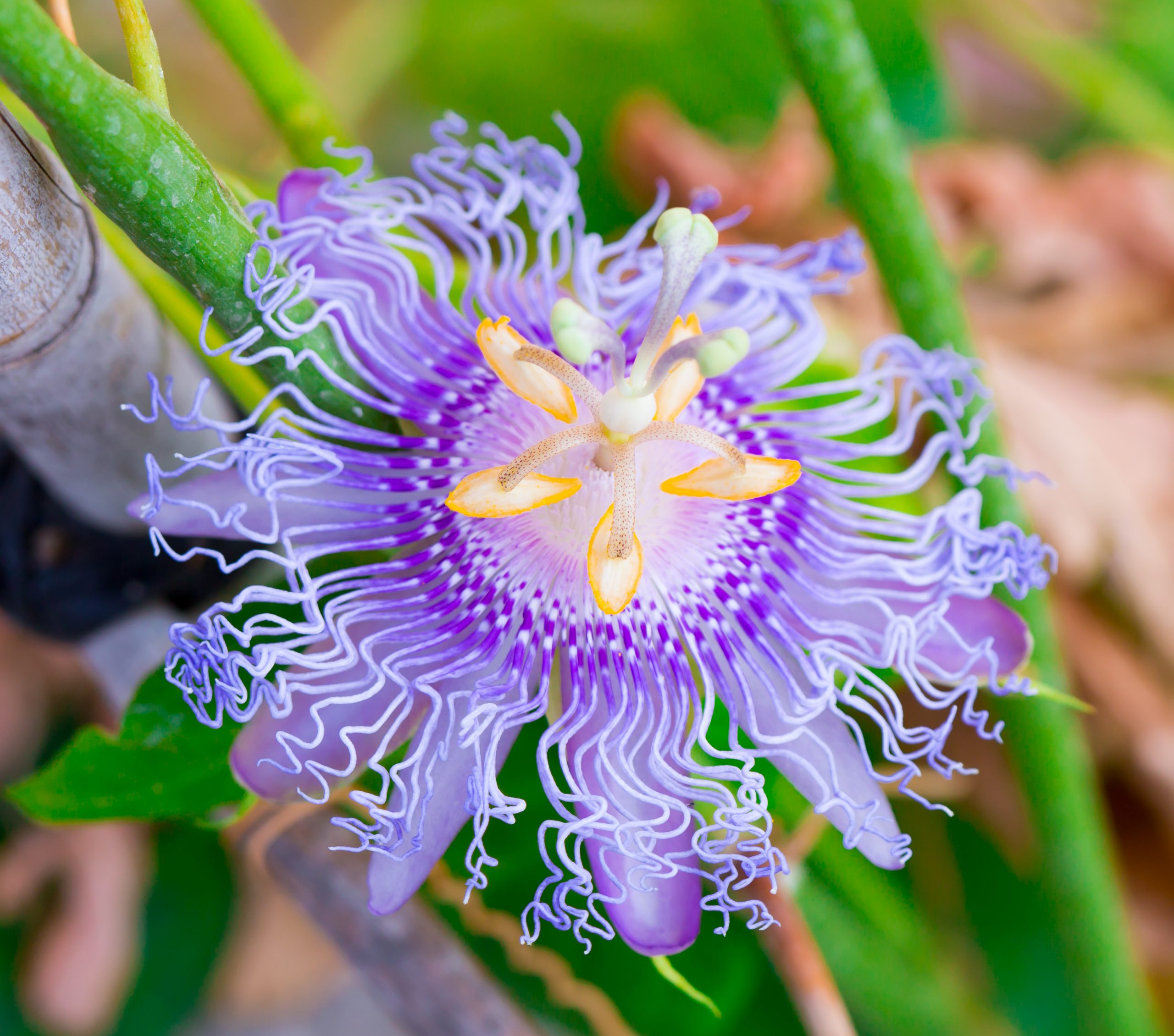 You are currently viewing Floarea pasiunii Purple Haze