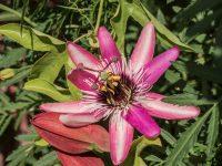 Floarea pasiunii Victoria