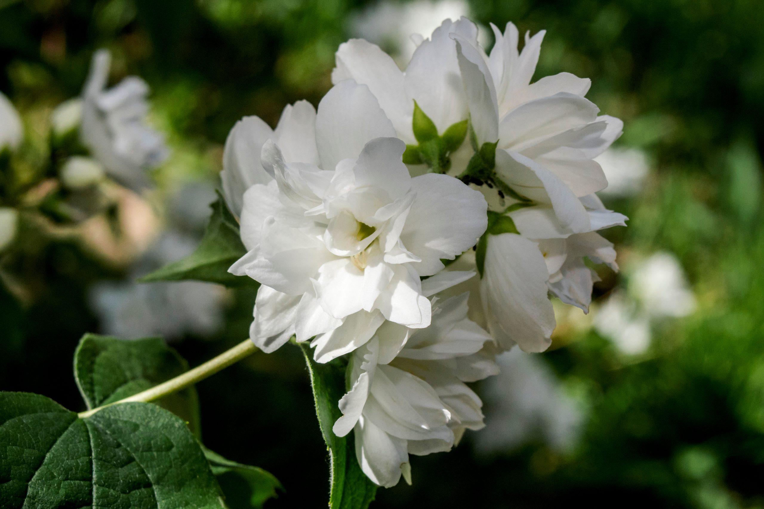 Iasomie Bouquet Blanc
