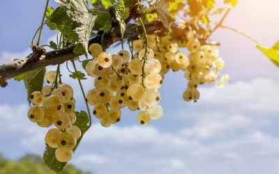 Plantarea arbuștilor fructiferi: coacăz, agriș, josta