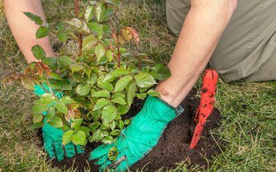 Plantarea trandafirilor cu rădăcină ambalată