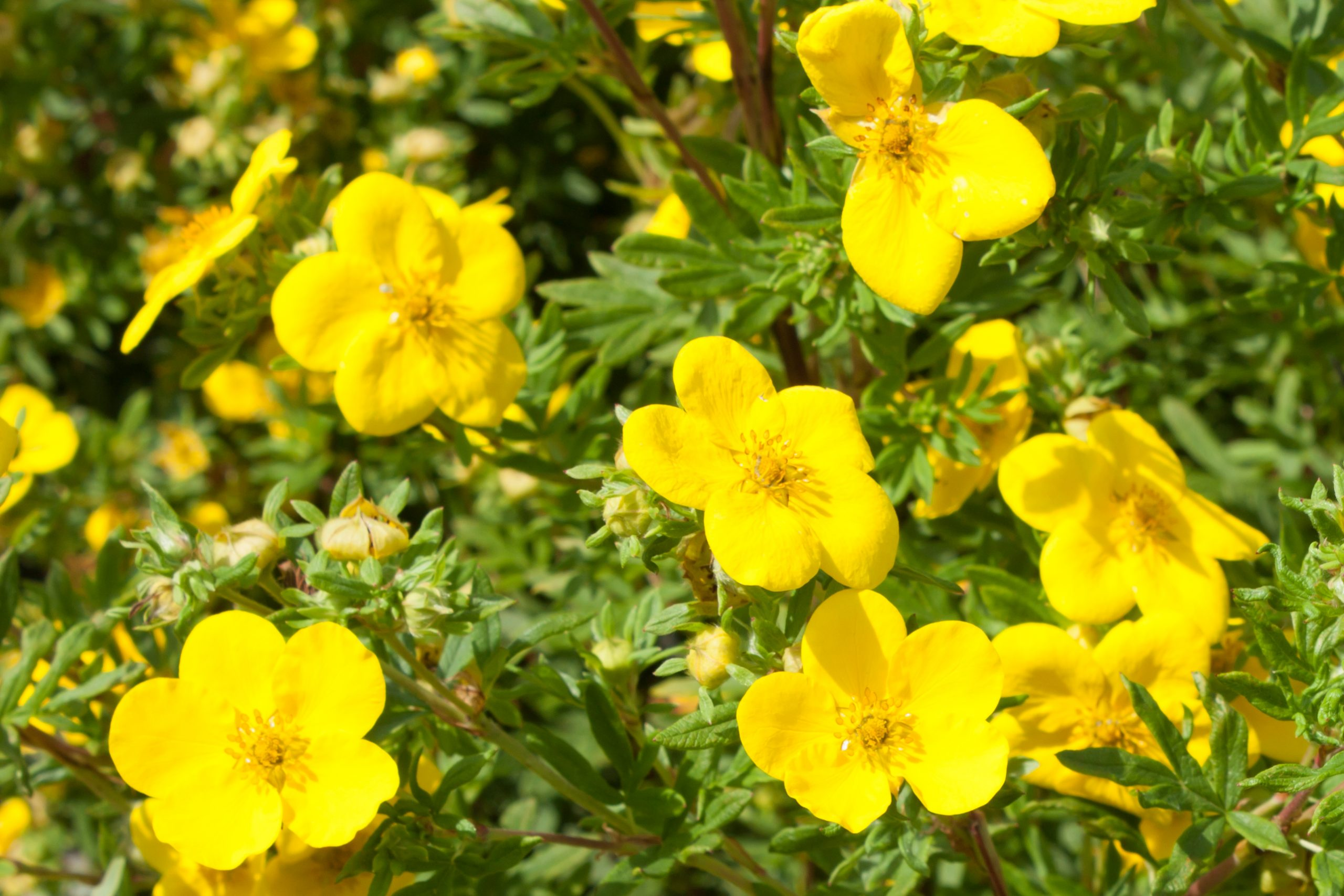 You are currently viewing Potentila Potentilla fruticosa Sunset