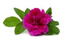 Trandafir de dulceață Rosa damascena