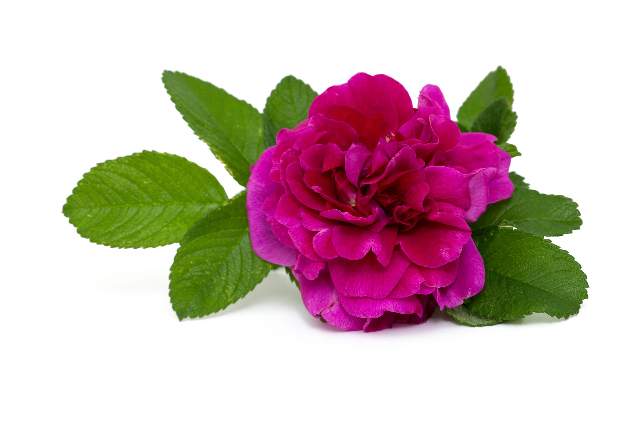 You are currently viewing Trandafir de dulceață Rosa damascena