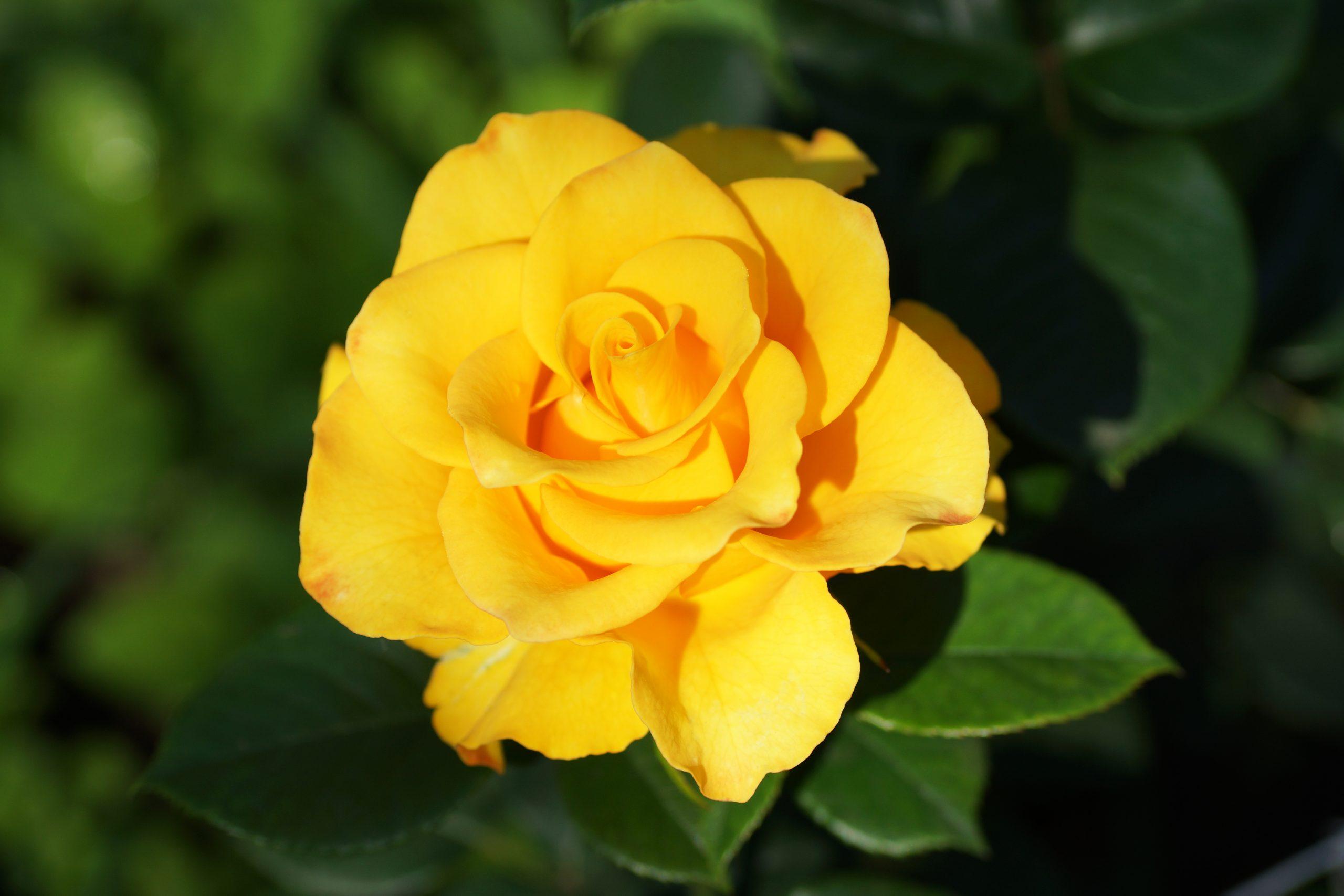 Trandafir Golden Perfume