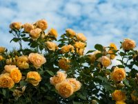 Trandafir Golden Showers