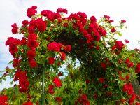 Trandafir Kormun
