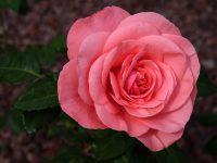 Trandafir Mondial
