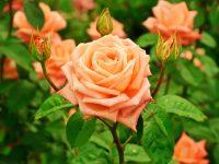 Trandafir Orange