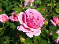 Trandafir England