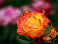 Trandafir Rumba