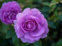 Trandafir Sissi