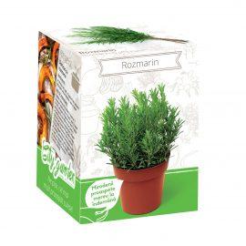 Kit plante aromatice – Rozmarin