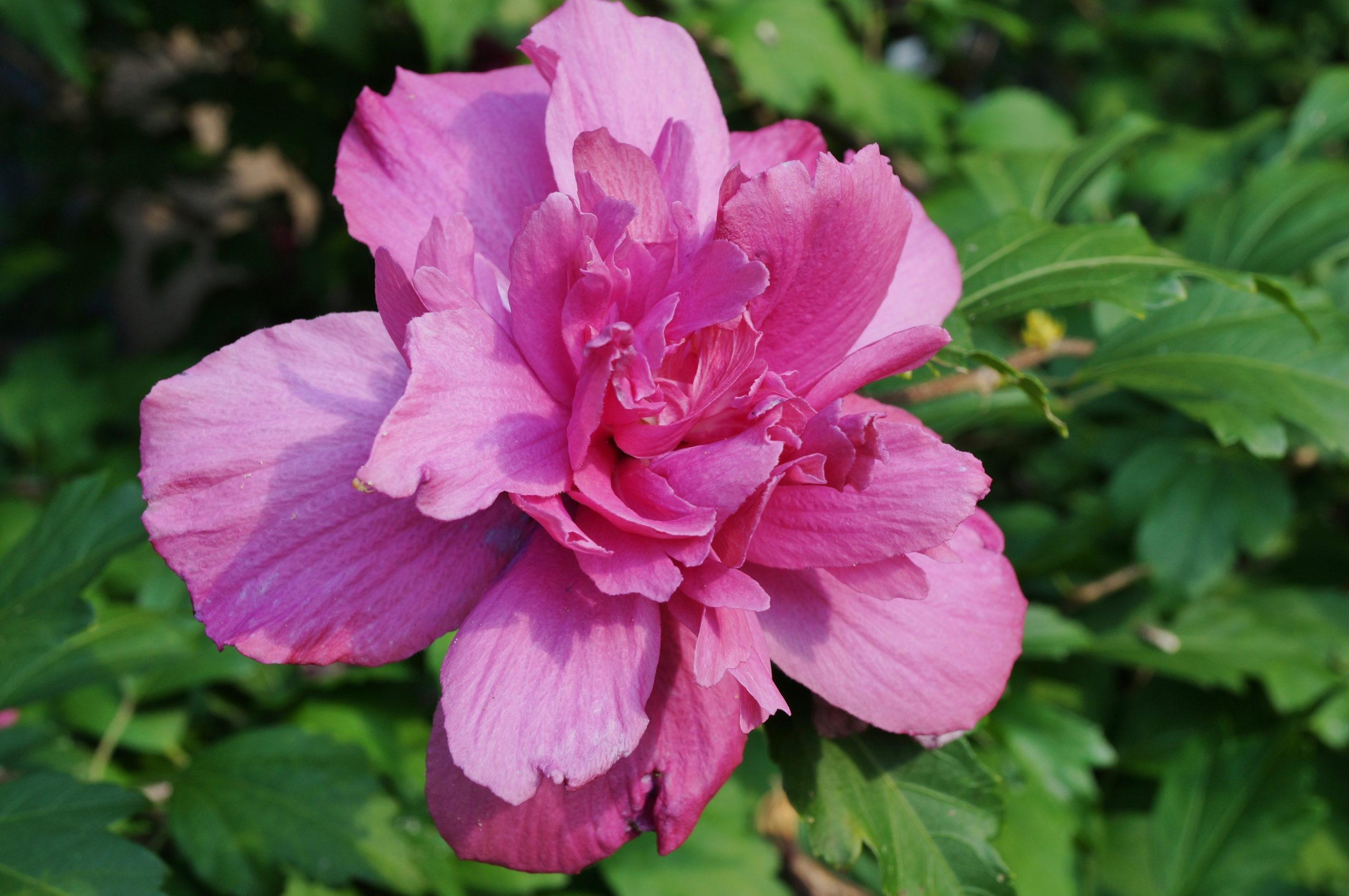 You are currently viewing Hibiscus Sanchoyo