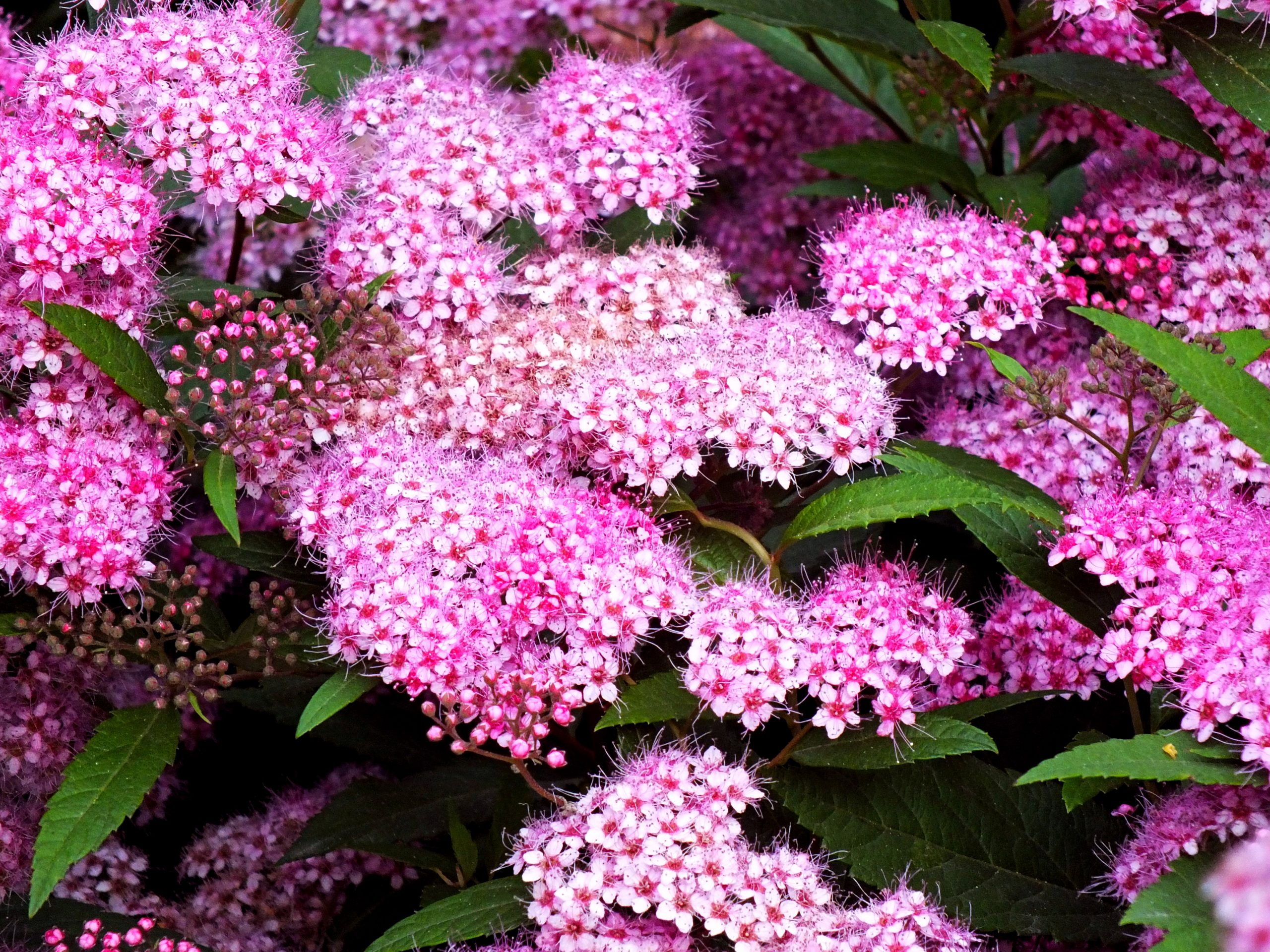 You are currently viewing Cununiță Spiraea japonica Genpei