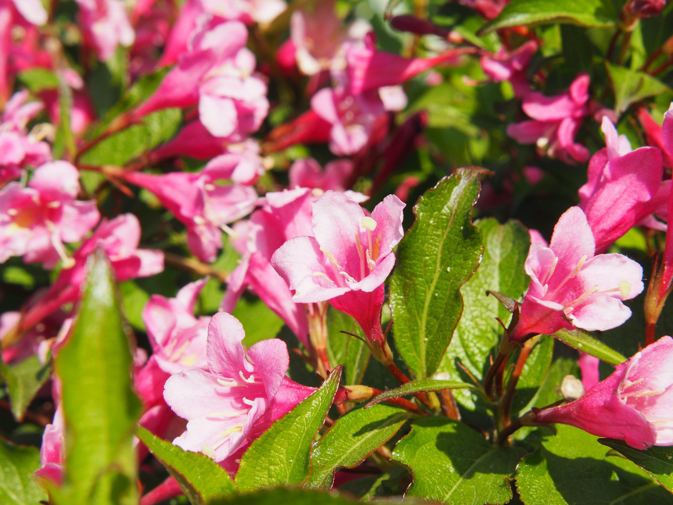 Weigela Weigela florida Aurea