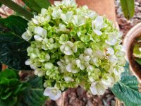 Hortenzia White Wave