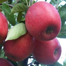 Măr Freedom