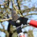 Lucrări de tăiere la pomi fructiferi –  Semințoase