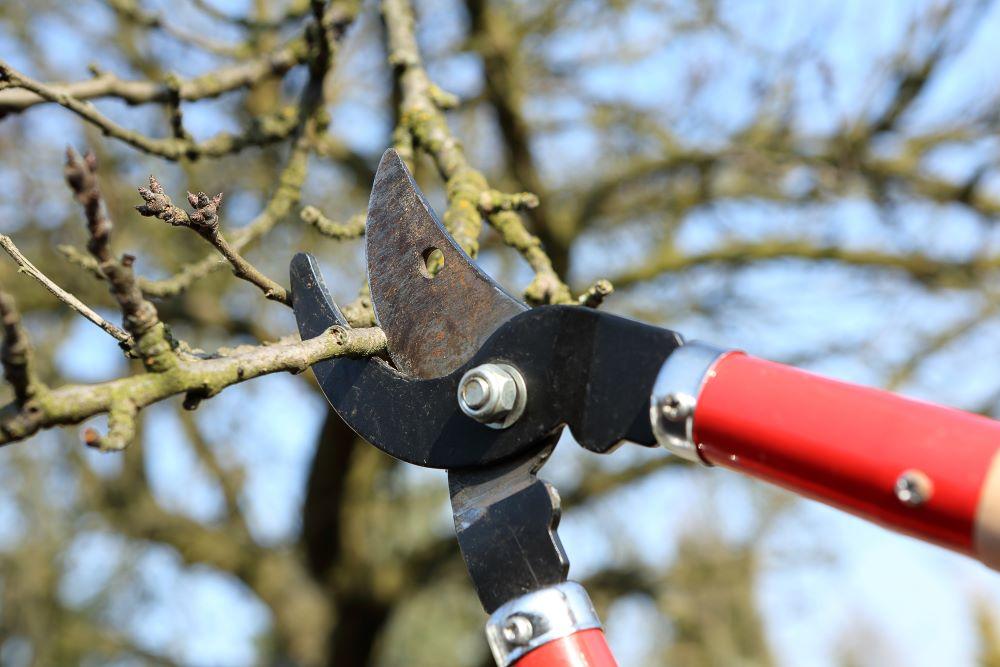You are currently viewing Lucrări de tăiere la pomi fructiferi –  Semințoase