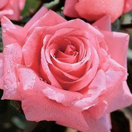 Trandafir Bel Ange