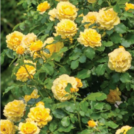 Trandafir Urcator Gold