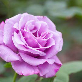"""Trandafir cățărător  XXL """"Purple"""""""