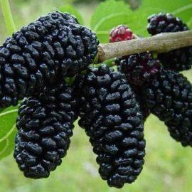 Arbusti fructiferi pomi – Dud Negru