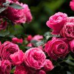 Îngrijirea trandafirului