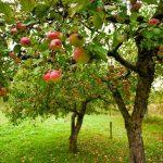 Întroducerea unei noi categorii de portaltoi la pomi fructiferi pentru plantații