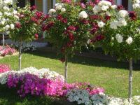 Plantarea trandafirilor cu port înalt