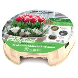 Tavă biodegradabilă cu lalele și  brândușe (roșu+alb)