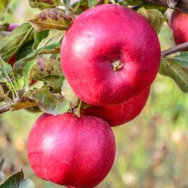 Măr Eva